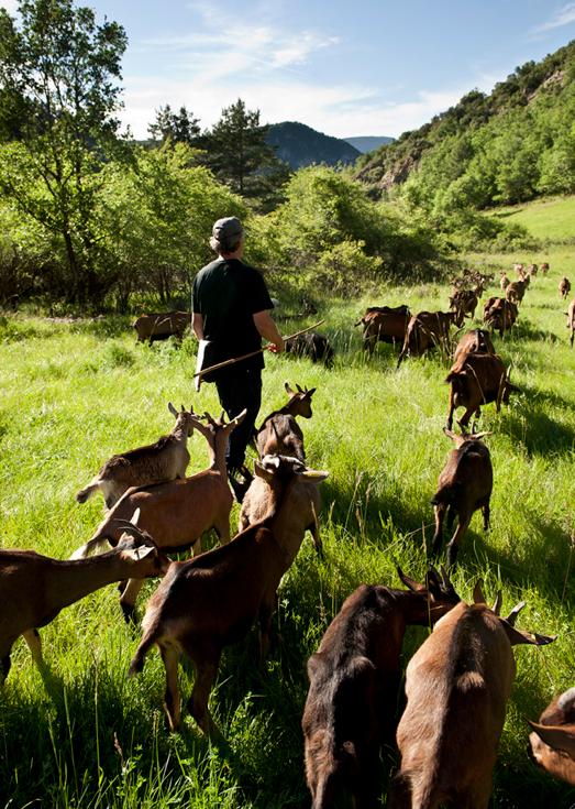El rebaño de cabras de Serrat Gros / Foto: Adriana Olsina